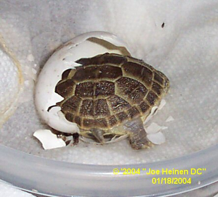 Russian Tortoise Hatchling Care