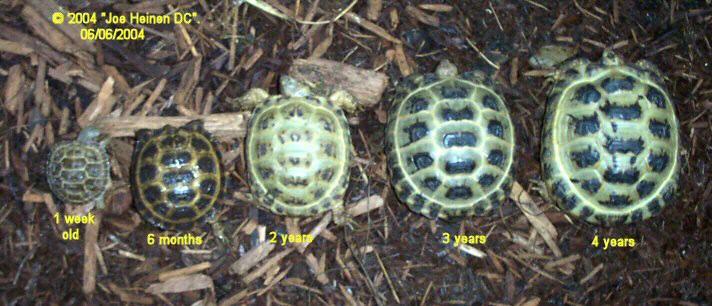 Russian Tortois...
